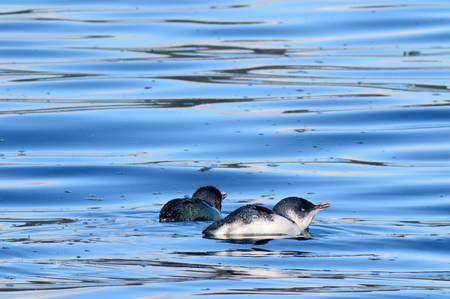 sealife: Little blue fairy Penguins (Eudyptula minor) swim and hunt fish at sea.