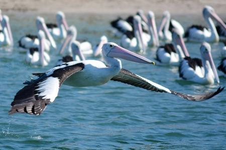 gold coast: Native Australian Pelicans on Gold Coast Queensland, Australia. Stock Photo