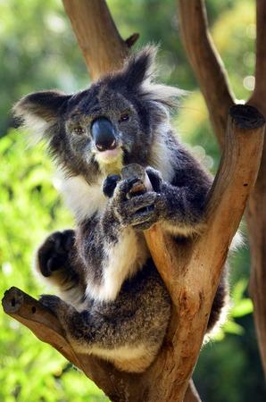full length herbivore: Koala (Phascolarctos cinereus) sit on an eucalyptus tree in Australia. Looks at the camera Stock Photo