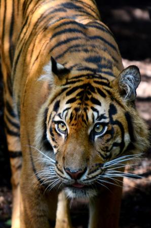 panthera tigris sumatrae: Head Shot of Sumatran Tiger in its natural habitat.