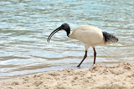 ciconiiformes: Australian White Ibis,Threskiornis aethiopicus, view of profile and walking, isolated on white background