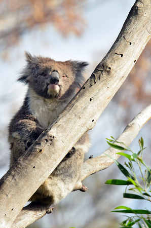 full length herbivore: Koala Phascolarctos cinereus sit on an eucalyptus tree in Australia. Looks at the camera
