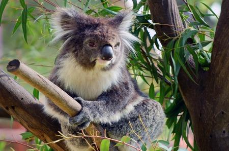 eucalyptus tree: Koala (Phascolarctos cinereus) sit on an eucalyptus tree in Australia.
