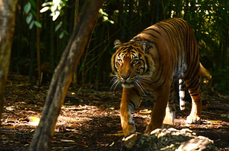 stalk: Sumatran Tiger walks in its natural habitat.
