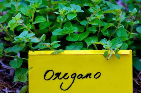oregano plant: Oregano plant with nam tag, grow in home garden.