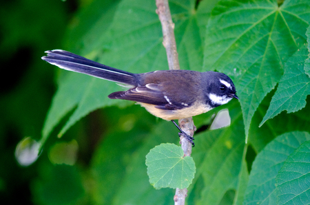 fantail: New Zealand Fantail sit on a tree branch.