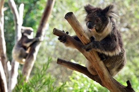 full length herbivore: Two Koala (Phascolarctos cinereus) climb on an eucalyptus tree in Australia.