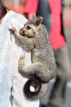 possum: Baby common brushtail possum on shoulder of a woman.