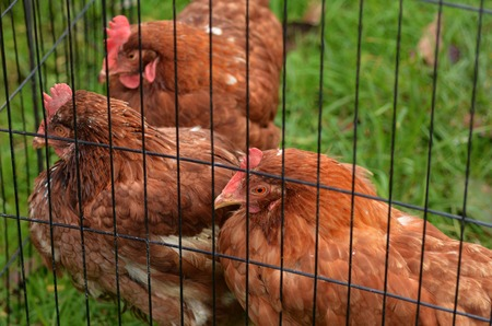 free range: Three domestic chickens in a  farm. Traditional free range poultry farming