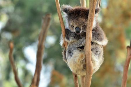 full length herbivore: Koala (Phascolarctos cinereus)sleep on an eucalyptus tree in Australia.