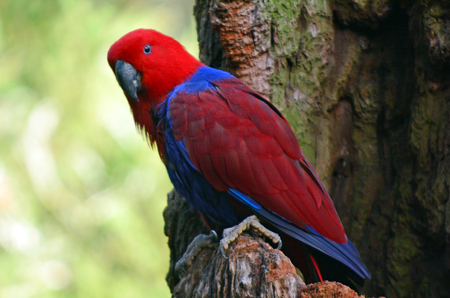 eclectus roratus: Female Eclectus Parrot sit on a tree branch in the Australian rainforest.