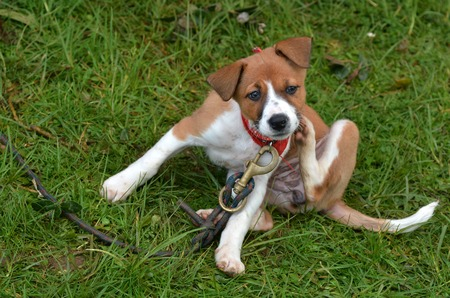 natural health: Little puppy Foxhound dog is scratching on green grass background.