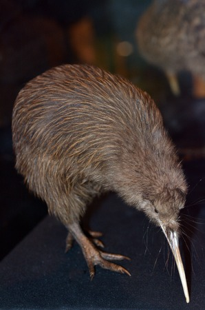 Taxidermy Brown Kiwi, Apteryx mantelli×¥ 스톡 콘텐츠