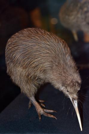 kiwi: Taxidermy Brown Kiwi, Apteryx mantelli×¥ Stock Photo