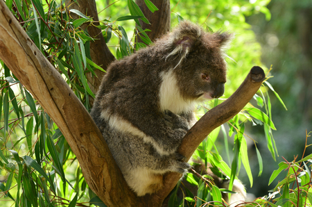 full length herbivore: Koala Phascolarctos cinereus sit on an eucalyptus tree in Australia.