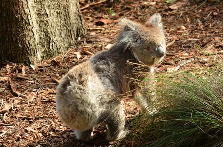 full length herbivore: Koala Phascolarctos cinereus walking on ground in Australia. Stock Photo