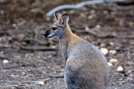 fullbody: Antilopine kangaroo (Macropus antilopinus) in the Australian outback. Stock Photo
