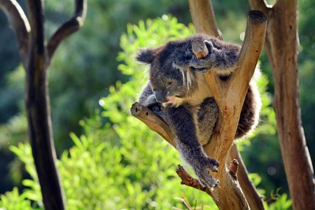 full length herbivore: Koala (Phascolarctos cinereus) climb on an eucalyptus tree in Australia.