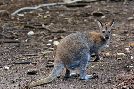 fullbody: Antilopine kangaroo Macropus antilopinus in the Australian outback. Stock Photo