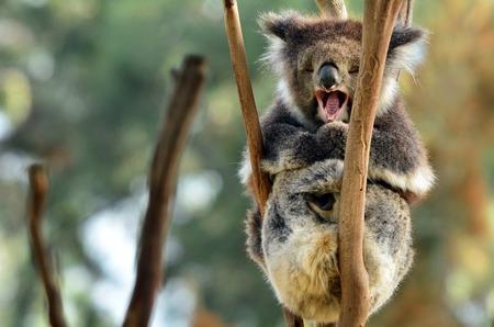 full length herbivore: Koala (Phascolarctos cinereus) yawning on an eucalyptus tree in Australia.