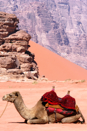 arabic desert: Two camels in Wadi Rum. Stock Photo