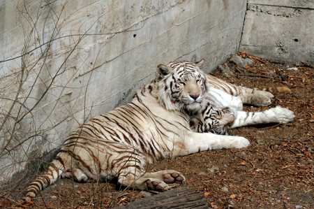 white tigers: White Tigers in Beijing Zoo.