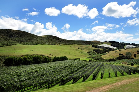 A vineyard landscape on Waiheke Island, New Zealand