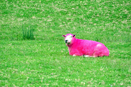 loony: Pink sheep are grazing in a green field in New Zealand.