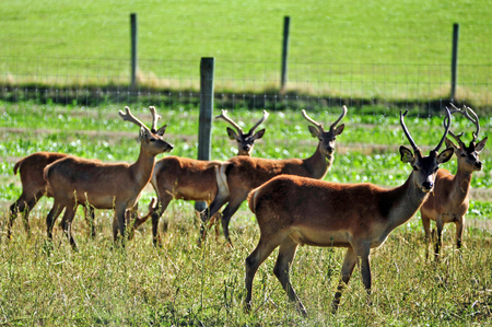 elaphus: Deer at a farm range in the south island of New Zealand. Stock Photo