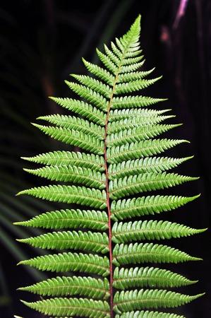 silver fern: Dicksonia Squarrosa New Zealand Fern