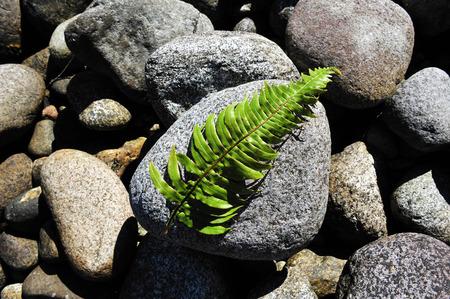 silver fern: Silver fern leaves on a rock in Fiordland, southern New Zealand.