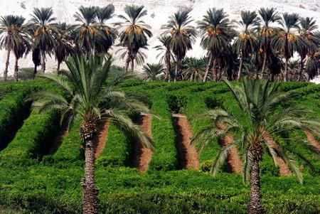 gedi: Plantation of palm trees at Ein Gedi in the Dead Sea area, Israel.