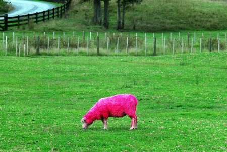 Pink sheep are grazing in a green field in New Zealand