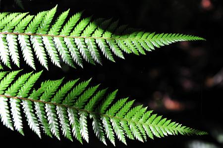 silver fern: Silver fern leaves in Fiordland, southern New Zealand.