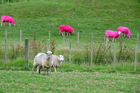 outrageous: Pink sheep are grazing in a green field in New Zealand.