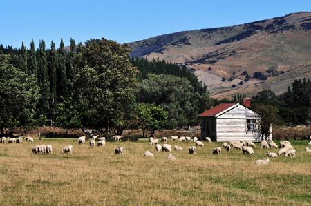 south island new zealand: Old farm building with sheep in south Island, New Zealand.