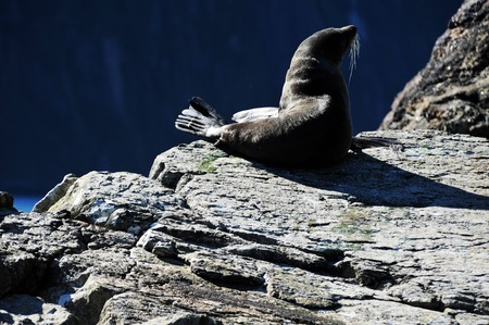 fiordland: Tired seals doze on rocks in the summer sun in Fiordland, southern New Zealand. Stock Photo