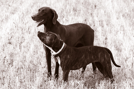 hungarian pointer: A black and white photo of a retriever bitch dog with her amstaf cub standing proudly in a field of wheat