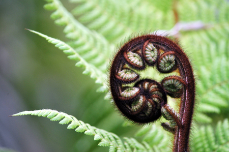 A Punga tree fern frond which is a native tree of New Zealand.