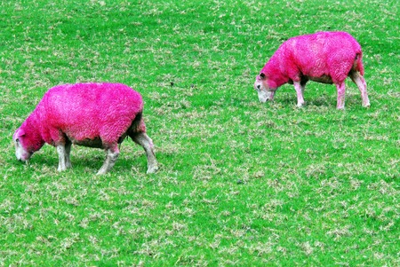outrageous: Pink sheep are grazing in a green field in New Zealand