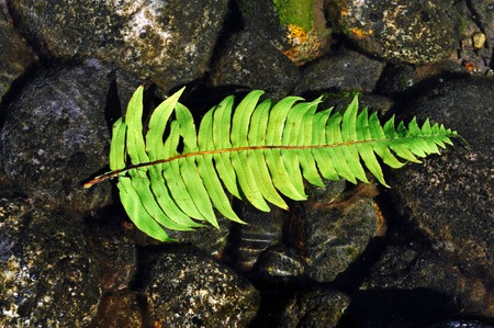 silver fern: A silver fern rests on