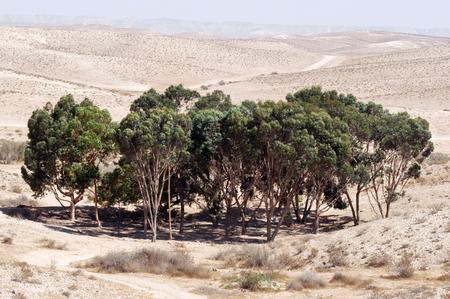eucalyptus trees: Eucalyptus trees in a man-made dunes that help keep in rainwater, creating oasis, Negev Desert, Israel.