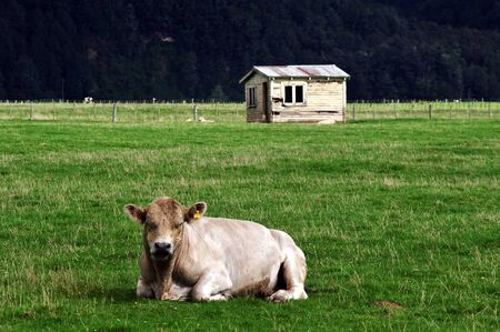old farm: Old farm house building with a bull in south Island, New Zealand.