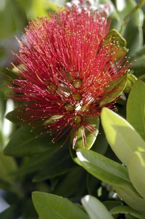 referred: Pohutuakawa flower, also referred to as the New Zealand Christmas Tree. Stock Photo