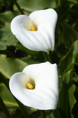Two Madonna lily flower grows in the garden.