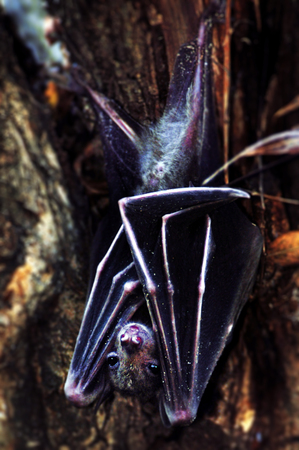 pteropus: Common Fruit Bat (Rousettus aegyptiacus) hang on a tree during daytime in Israel. Stock Photo