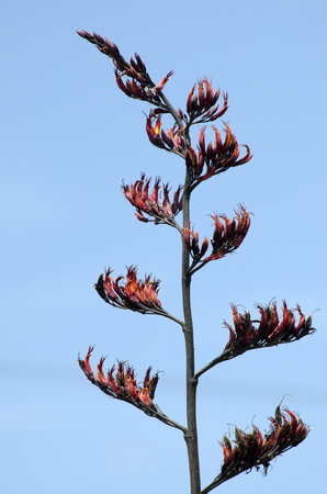 new zealand flax: Flax plant flowering during spring season against blue sky.