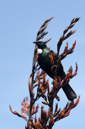 new zealand flax: Tui (Prosthemadera novaeseelandiae) An endemic passerine bird of New Zealand.