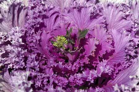 flowering kale: Pink cabbage grows in the garden. Close up Stock Photo