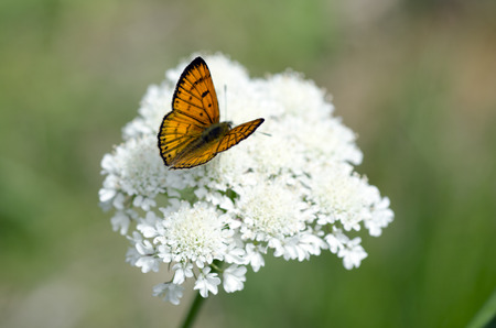 virgaureae: Common Copper butterfly male upperside on a white weed flower (Queen Anne's lace).
